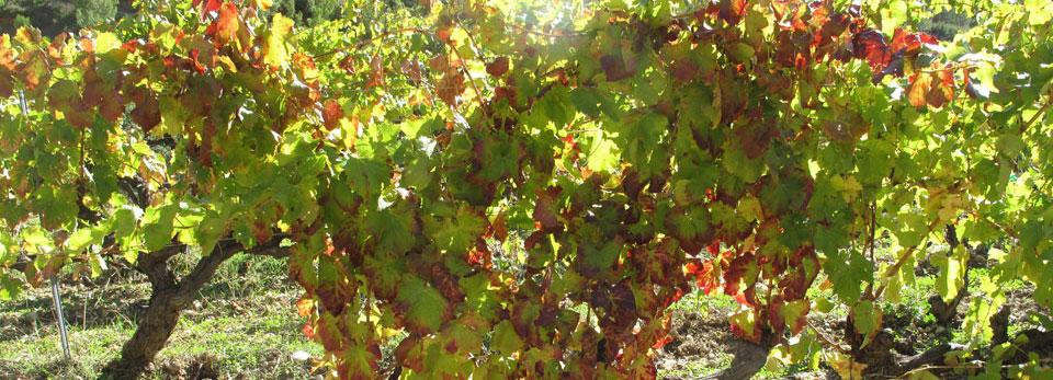 Vinyes de la Cartoixa