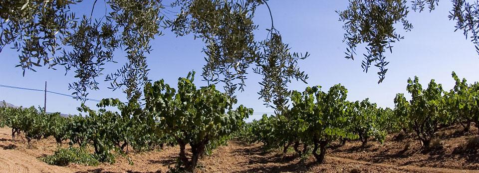 Olivera i vinyes